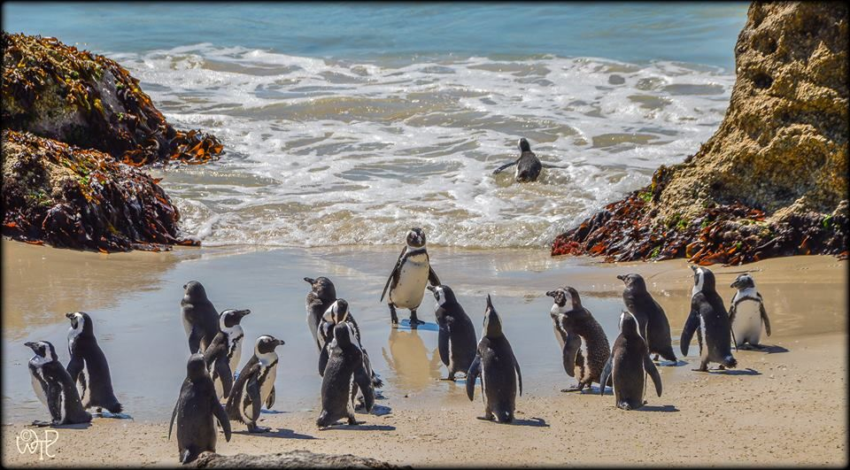 African Penguins at Boulders Beach Photo: What's the Point