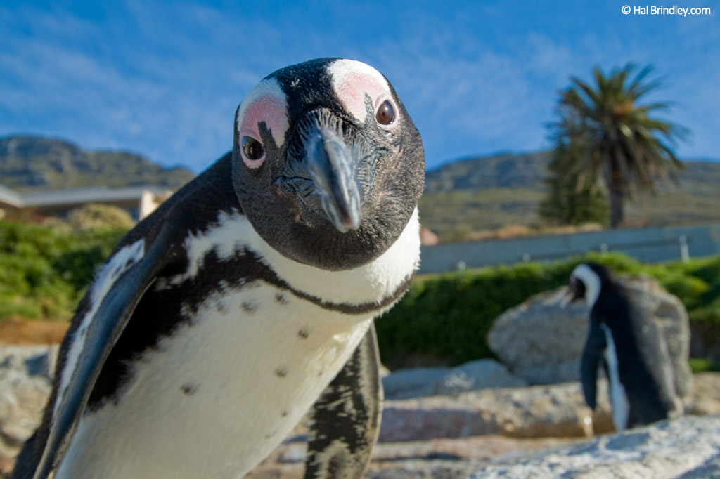 African Penguin. Photo: Hal Brindley
