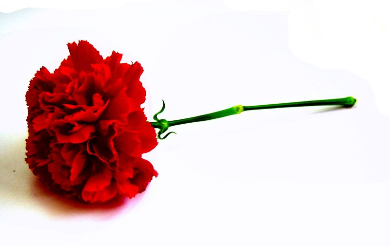 Carnation- a symbol of love and respect on Mother's Day