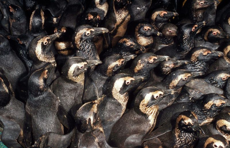 Oiled Penguins Photo:WWF