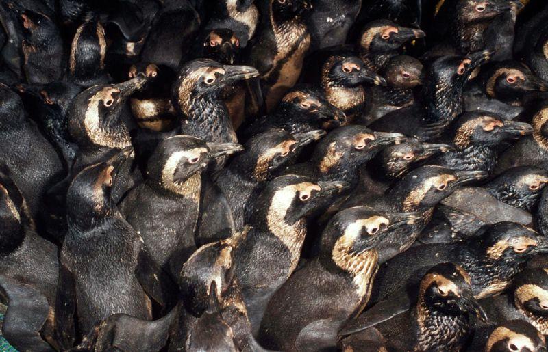 Oiled Penguins Photo:WWF