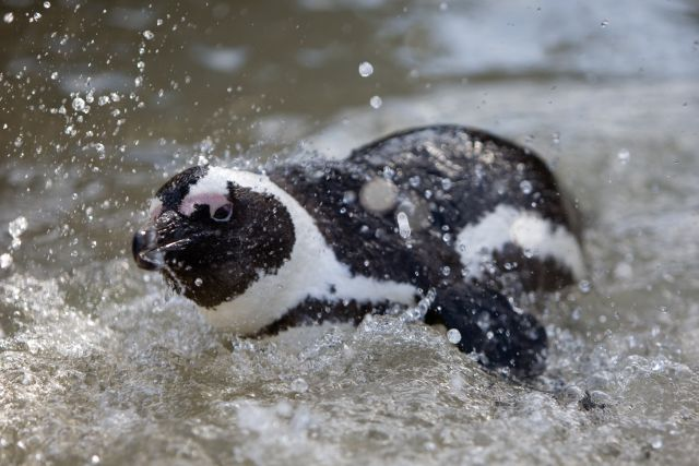 Penguin Splash at Boulders Beach Photo: Peter Haarhof