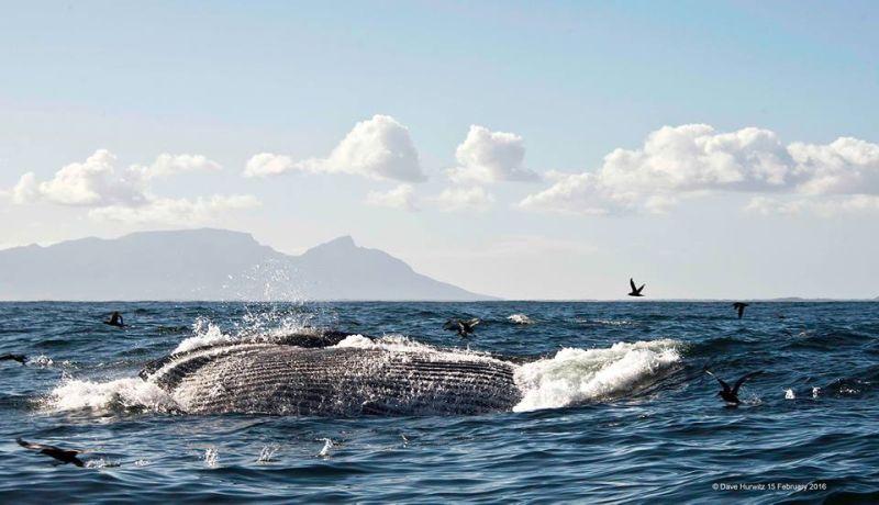 Brydes Whale lunge feeding . Photo: D.Hurwitz 2016