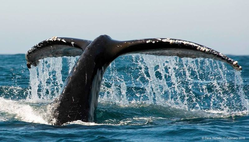 Humpback Whale Tail. Photo. D.Hurwitz 2016