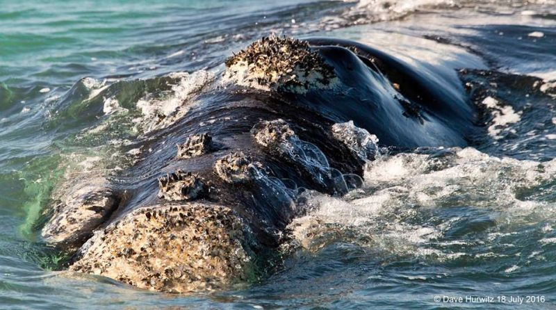 Southern Right Whale. Photo: D. Hurwitz 2016