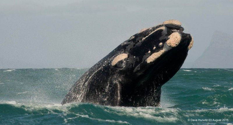Southern Right Whale. Photo: D. Hurwitz 2015