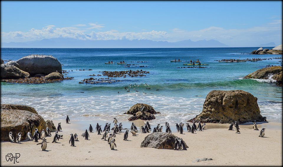 Boulders Beach Penguin colony Photo: What's the Point?!
