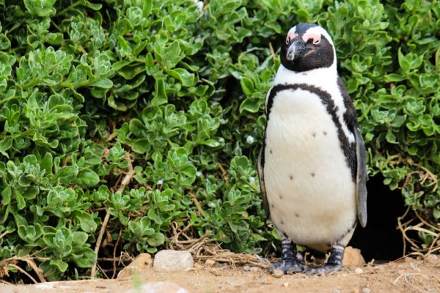 AfricanPenguin Photo-francois-louw