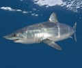 Mako & Blue Shark Cage Diving Cape Point