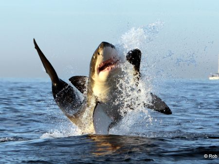Great White Shark Diving (False Bay)