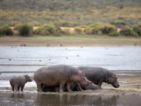 Horseback or Quadbike Safari - Hippo