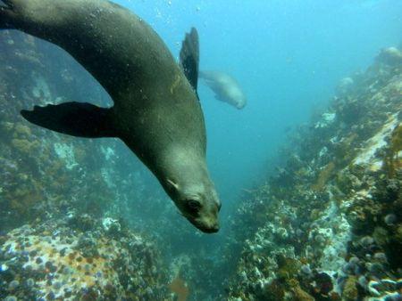 Seal and Cowshark Diving