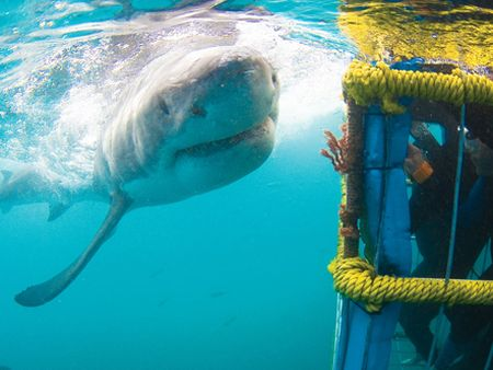 Great White Shark Diving (Gansbaai)