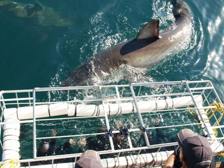 Cape Town Great White shark Cage diving