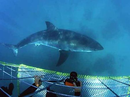 Cape Town White shark diving in Gansbaai